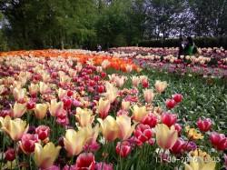 Фото из тура Цветочные королевстваАмстердам, Гамбург и Бремен!, 07 мая 2016 от туриста LediGala